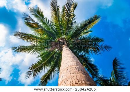 Coconut tree under blue sky  background. - stock photo