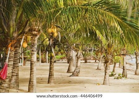 Coconut trees on a beach in Belize - stock photo
