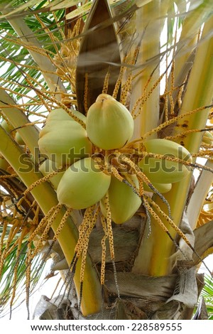 Coconuts growing on a coconut tree