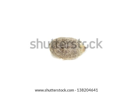 Cocoon from the Blue Orchard Bee (Osmia lignaria) - stock photo