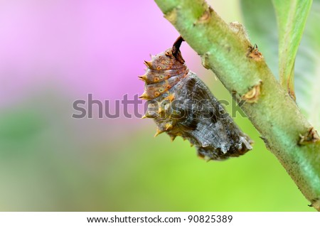 cocoon of Blue Moon Butterfly - stock photo