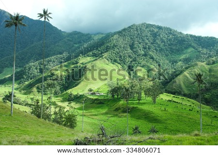 Cocora Valley, Quindio province. Between the mountains of the Cordillera Central in Colombia. Predominates iax palm, Colombia's national tree. - stock photo