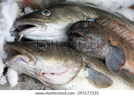 Cod and wolffish caught in the Barents Sea - stock photo