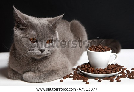 coffee and cat British shorthair - stock photo