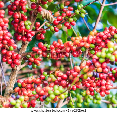 Coffee beans arabica on tree in North of thailand  - stock photo