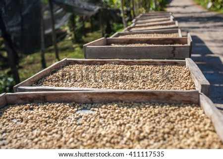 Coffee beans drying in the sun.  - stock photo