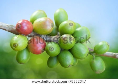 Coffee beans growing - stock photo