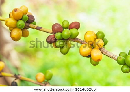 coffee beans in natural - stock photo
