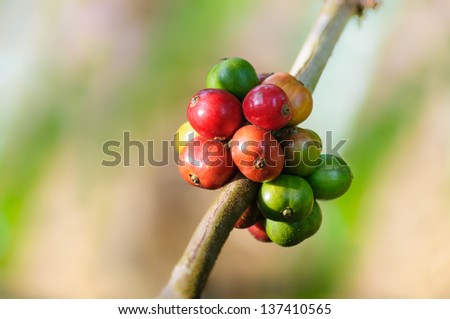 Coffee Beans in natural with sun light - stock photo