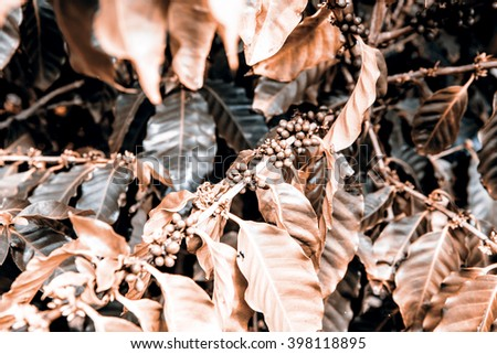 Coffee beans in the nature - Hawaii - stock photo