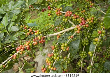 Coffee beans in the plant Chiapas Mexico - stock photo
