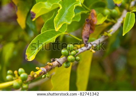 Coffee beans in their natural organic state, growing on the branch. Good background for natural products and flavors - stock photo