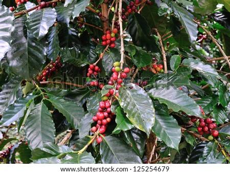 coffee beans on coffee tree - stock photo
