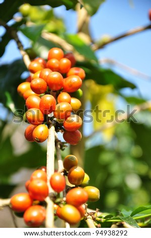 Coffee beans on plant - stock photo