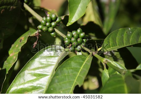 Coffee Beans on the Branch close up - stock photo