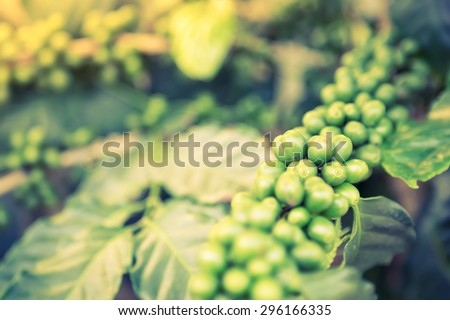 Coffee beans on the branch  ( Filtered image processed vintage effect. ) - stock photo
