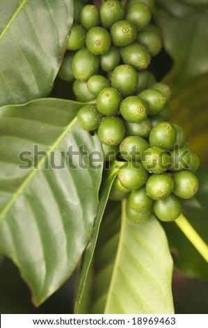Coffee Beans on the Branch in Kauai, Hawaii - stock photo