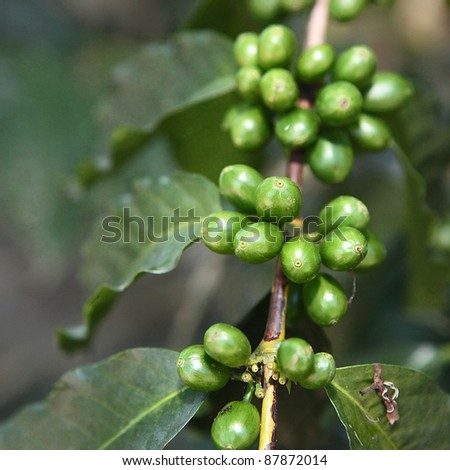 Coffee beans on the tree.