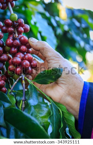 Coffee beans on the tree waiting for the store to make a drink. Hand pick up coffee seed from coffee tree in organic farm. - stock photo