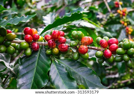 Coffee beans on trees - stock photo