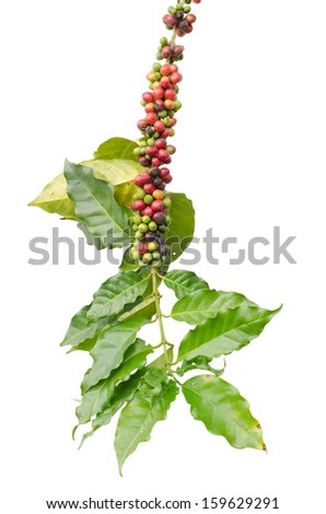 Coffee beans on trees isolated on white background - stock photo