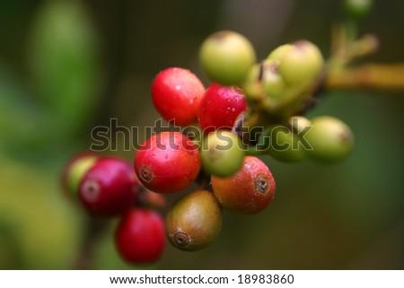 coffee beans on vine - stock photo