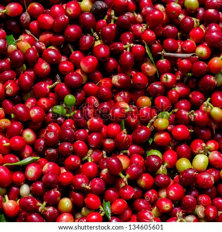 Coffee beans ripening - stock photo