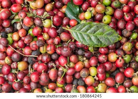 Coffee beans ripening  - stock photo
