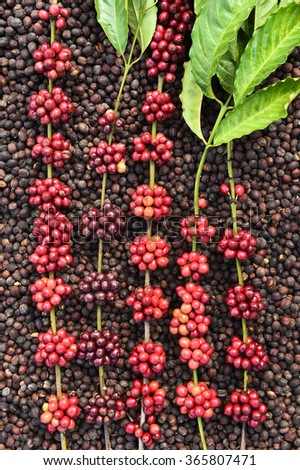 Coffee beans ripening on dried berries coffee beans backgourng - stock photo