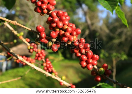 Coffee beans ripening on plant - stock photo