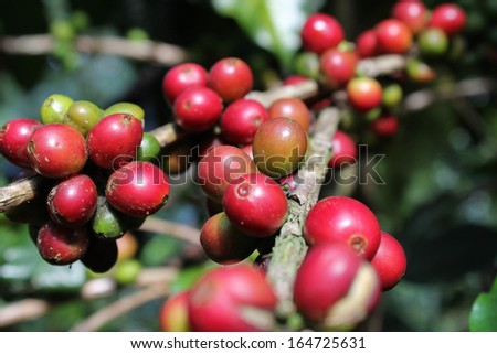 Coffee beans ripening on the branch  - stock photo