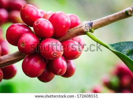 Coffee beans ripening on tree - stock photo
