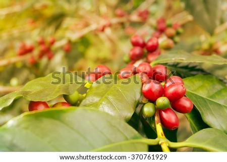 Coffee beans ripening on tree, vintage colored tone