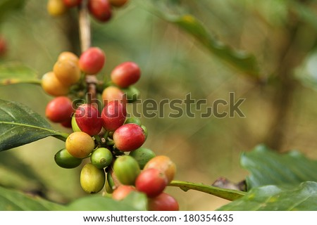 Coffee beans with branch on the tree - stock photo