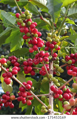 coffee berries - stock photo