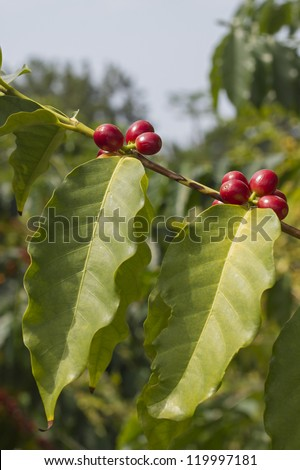 Coffee berries on a branch - stock photo