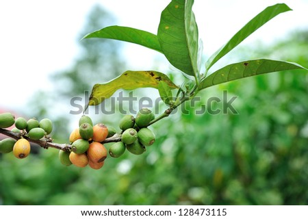 Coffee berries on a branch, selective focus. - stock photo