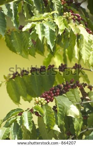 Coffee bush in growth- grain - stock photo