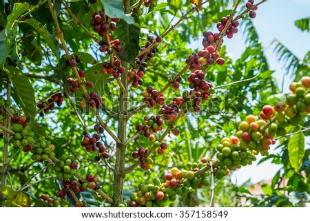 Coffee cherries on a tree on a plantation in Costa Rica - stock photo