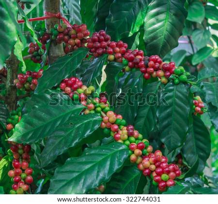 Coffee - Coffee tree with ripe - Coffee beans on trees - stock photo