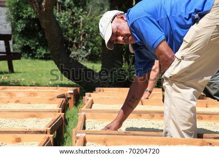 Coffee farmer drying coffee beans in the sunshine - stock photo