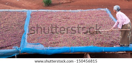coffee farmer,drying red berries coffee in the sun  - stock photo