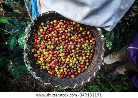 Coffee farmer picking ripe cherry beans. - stock photo