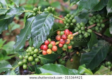 Coffee fruit in Northern Vietnam - stock photo