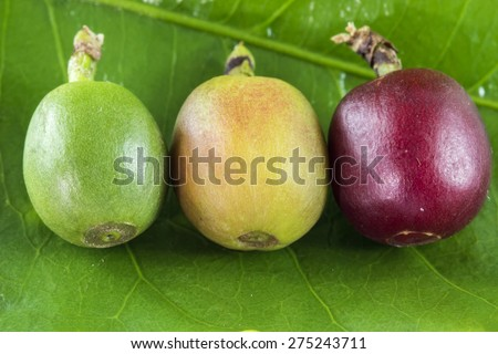 Coffee fruits at different stages of mature on the leaf close up - stock photo