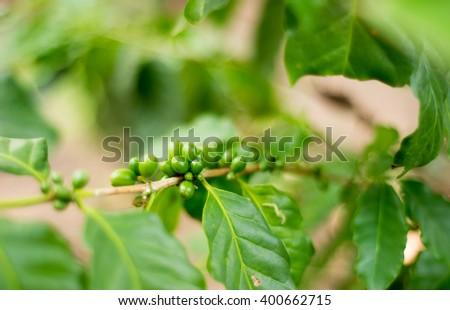 coffee green - stock photo