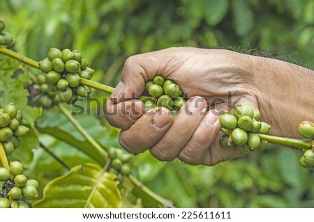 Coffee harvest  by farmer hand - stock photo