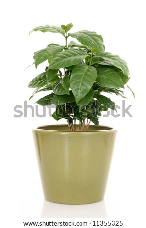 coffee plant in pot isolated on white