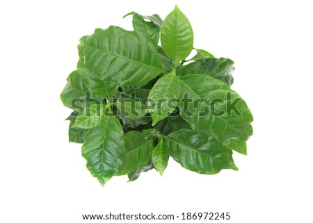 coffee plant isolated on the white background - stock photo