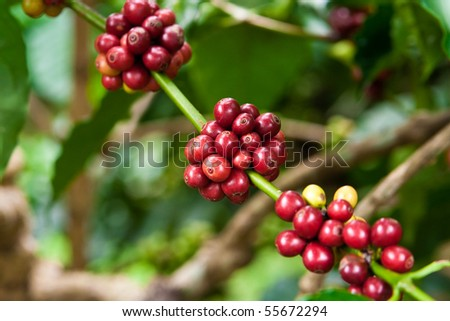 coffee plant mit fruits - stock photo